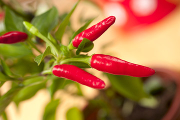 red chilli pepper plant, very hot! shallow focus