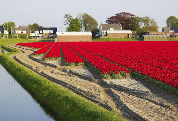 colored tulip field in the Netherlands