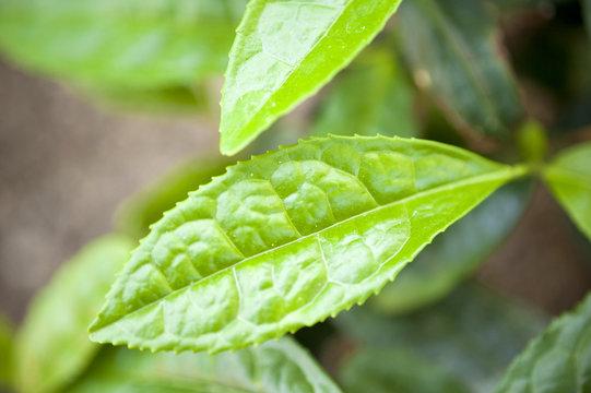 Teestrauch Camellia Sinensis