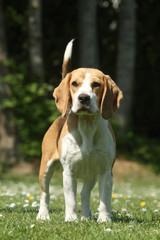 belle posture du beagle de face
