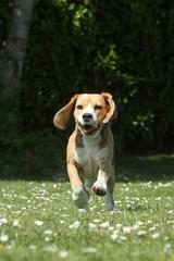 plaisir et vitalité du beagle
