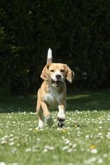 beagle running and jumping