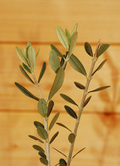 Young Olive Branches Against Wooden Background