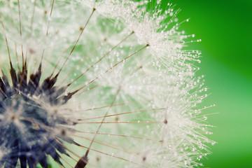 Fotorolgordijn Paardebloemen en water Close-up of wet dandelion seed with drops