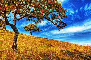 yellow  oak tree on the hillside