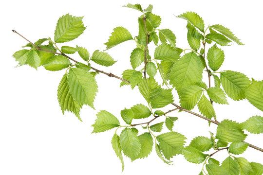 Branch of filbert (Corylus) bush