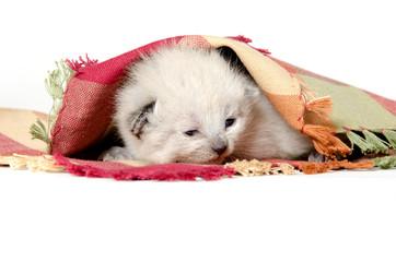 Baby kitten in a blanket