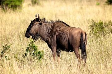 Blue Wildebeest Bull