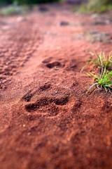 Leopard Tracks