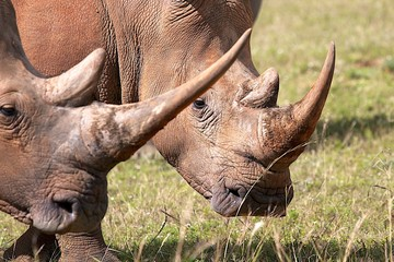 Close Up Rhinos