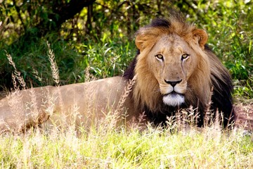 Mature black maned lion