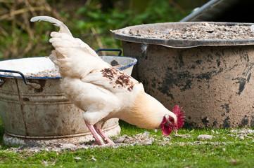 Hahn, Hähnchen, Geflügel, Nutztier, weiß