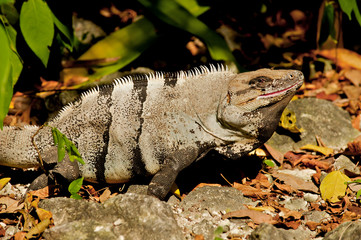 Beautiful nature image of an iguana in the wild of Mexico.