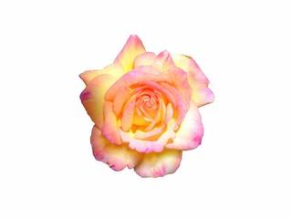 Une Rose jaune