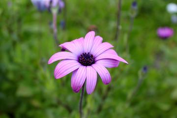 Fleur violette en gros plan