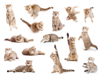 striped British cat and kitten isolated set