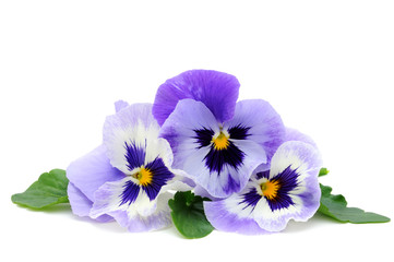 Photo sur Toile Pansies Pansy