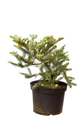 fir-tree isolated on white