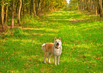 Nice akita dog in the forest