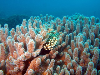 Underwater inhabitants of the South-Chinese sea, soft coral