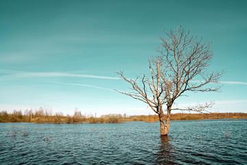 small oak amongst spring flood