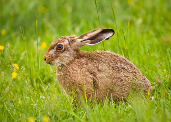 Brown Hare close-up