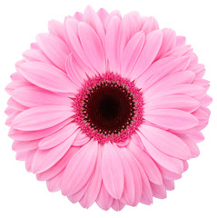 Gerbera isolated with clipping path