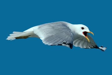 Seagull (Möwe)