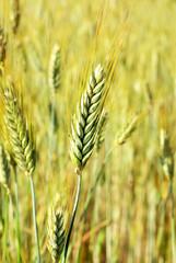 Spikes on wheat field.