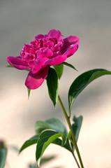 fiori 1328