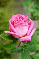 rosa fiori 1298