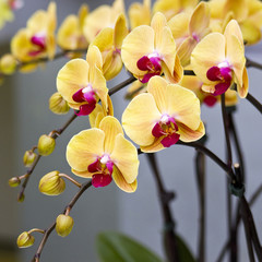 Beautiful yellow orchid  - phalaenopsis