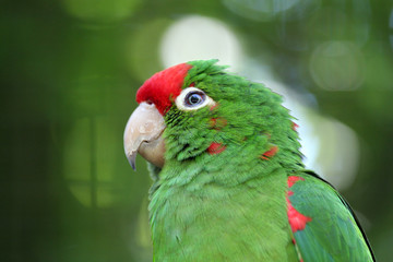 green love bird
