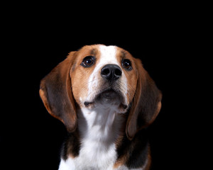 Coon Hound Looking Towards