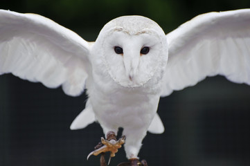 Fotoväggar - Barn owl bird of prey in falconry display