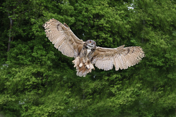 Fototapete - Stunning European eagle owl in flight