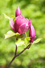 Purple magnolia blossom
