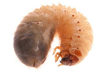 Larva of cockchafer