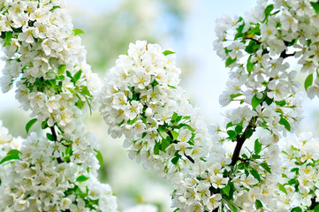 Blossoming white branch