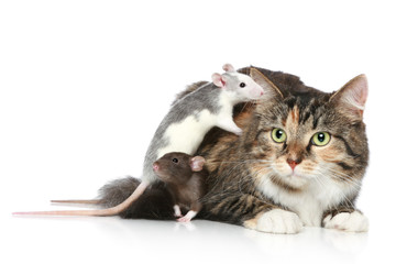 Wall Mural - Cat and rats resting