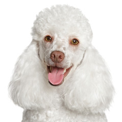 Wall Mural - White poodle puppy smiles