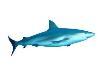 Caribbean Reef Shark (Carcharhinus perezii) on white background