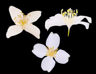 three jasmine flowers isolated on black