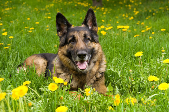 German Shepherd on the meadow