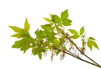 branch of blooming ash-leaved maple