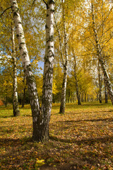 Garden Poster Birch Grove birch grove in autumn