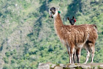 2 llamas at Machu picchu