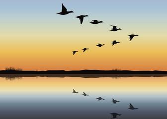 Vol de canard