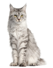 Fototapete - Maine Coon, 2 years old, sitting in front of white background