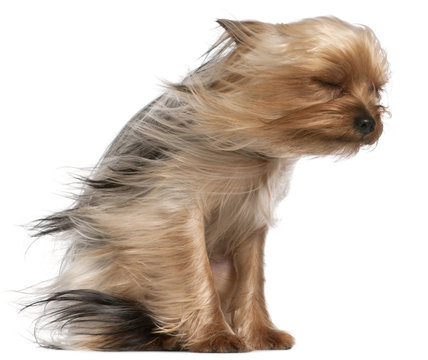 Yorkshire Terrier with hair in the wind, 1 year old, sitting